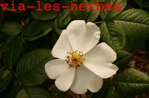 fleur de rosier sauvage