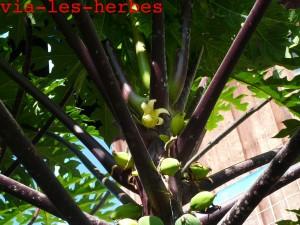 Fleur femelle de papayer
