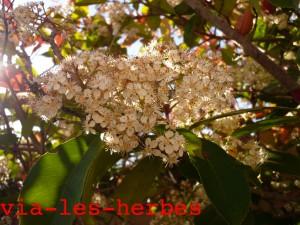 Photinia fleurs