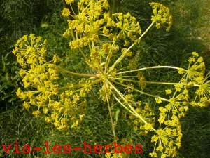 fleurs de ferule