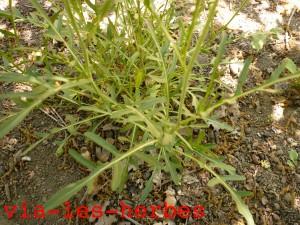 sysimbre off, feuilles a la base
