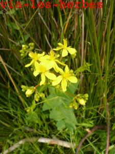 Millepertuis perfolie, hypericum perfoliatum