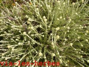 Helichryse italicum