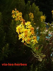 inule viqueuse,Dittrichia viscosa