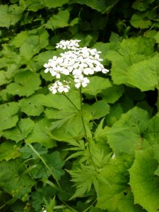 Achillee a grandes feuilles Achillea macrophylla Asteracees