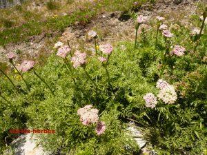 achillee a feuilles de Tanaisie Achillea distans Asteracees.2
