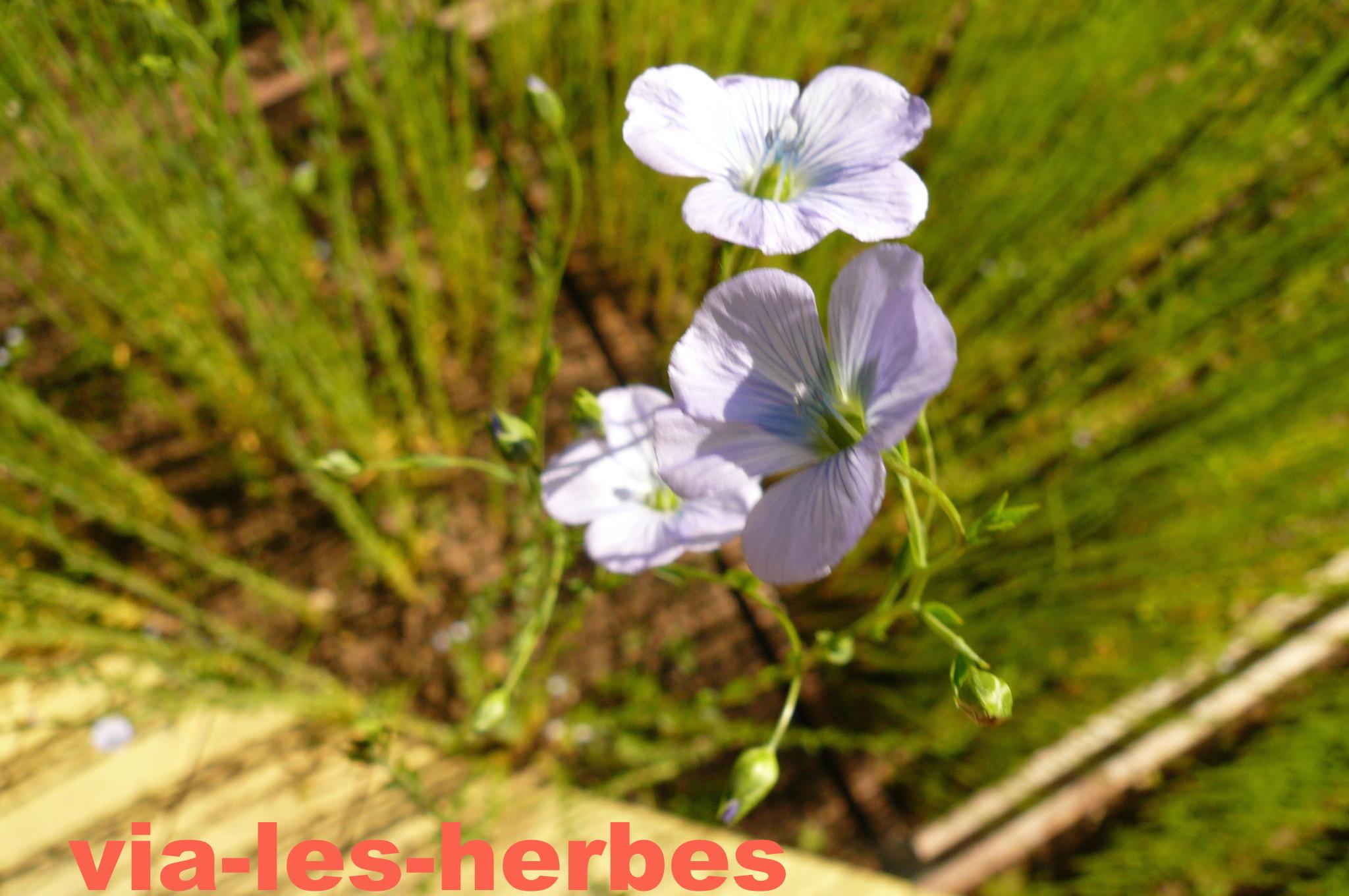Le lin cultivé aux multiples usages   Via-les-herbes