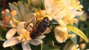 abeille et fleurs d'oranger
