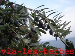 arbre olivier 2