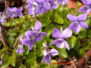 violettes