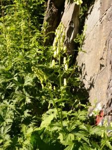 aconit tue loup Aconitum lycoctonum Renonculacees