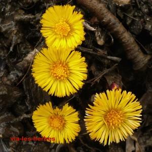 tussilage fleur