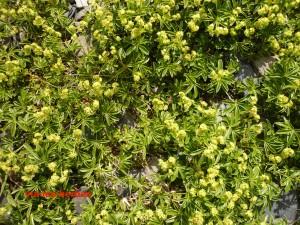 Alchemille des Alpes Alchemilla alpina Rosacees