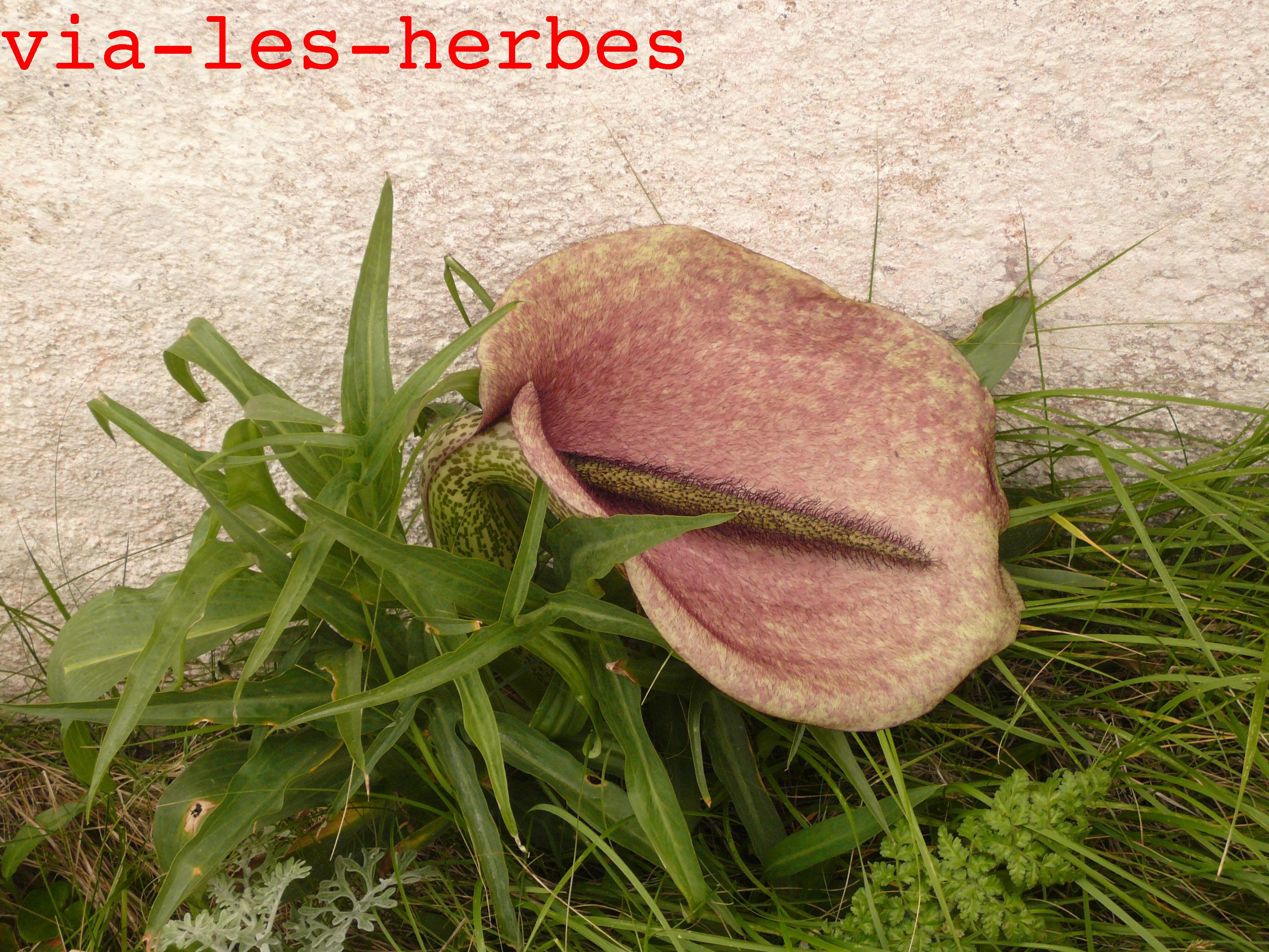 les plantes toxiques sauvages ou cultivées | via-les-herbes