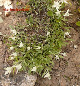 edelweiss du Kamchatka