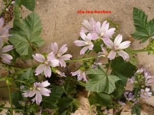 mauve de Nice, Malva nicaeensis