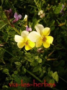 pensee sauvage Viola lutea