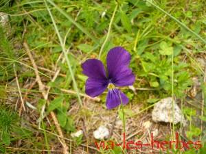 Pensee sauvage viola tricolor