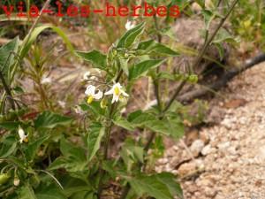 Morelle velue, Solanum villosum, Corse