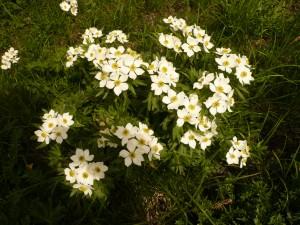 anemone a fleurs de nacisse, Anemone narcissiflora, Renonculacees