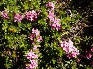 daphne camelee Daphne cneorum Thymelaeacees