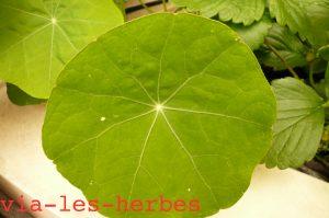 feuilles de capucine