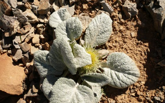 Berardie laineuse ou chardon de Berard Berardia lanuginosa Asteracees plante endemique des Hautes alpes du sud protegee