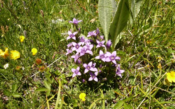 gentiane champetre Gentianella campestris Gentia nacees.