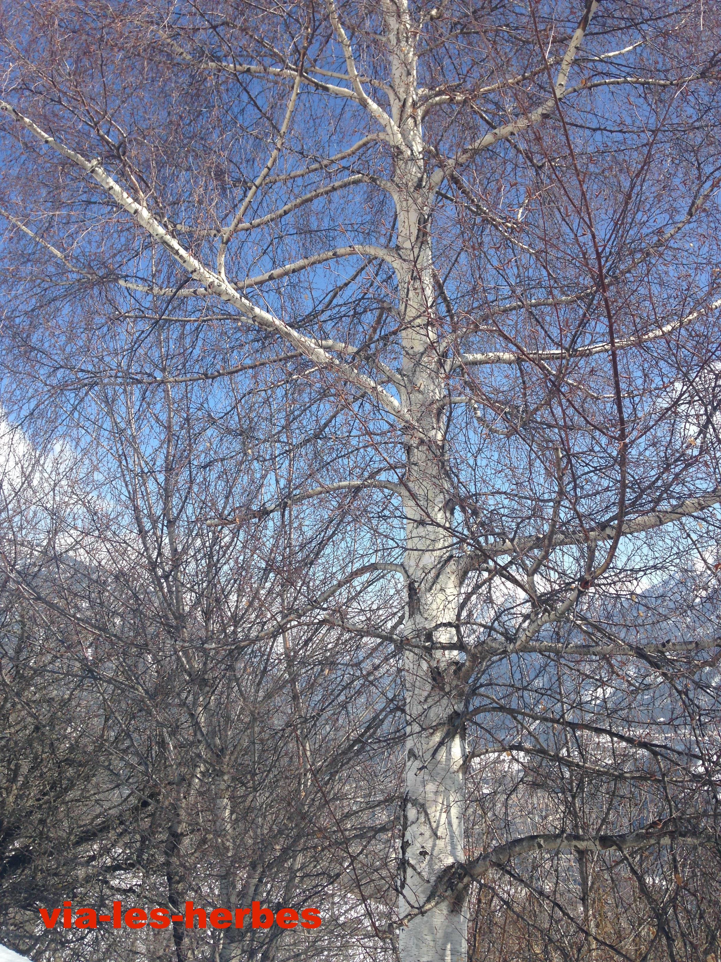 Le bouleau blanc diur tique et anti inflammatoire via les herbes - Feuille de bouleau photo ...